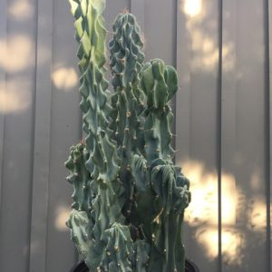 Colossal Cactus