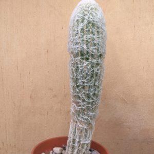 Espostoa melanostele / Peruvian Old Man Cactus