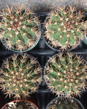 Notocactus Roseoluteus Cactus