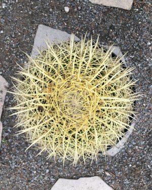 Golden Barrel Cactus | Echinocactus Grusonii