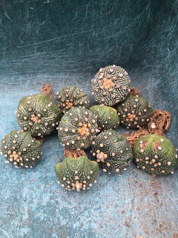 Astrophytum Asterias   Sand Dollar Cactus