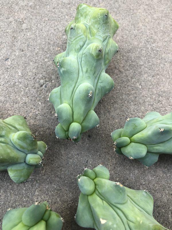 Boob Cactus   Myrtillocactus Geometrizans cv. Fukurokuryuzinboku
