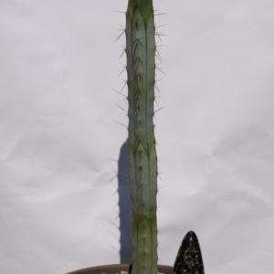 Trichocereus Bridgesii