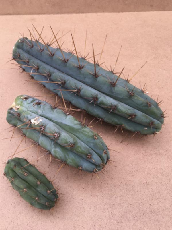 Peruvian Torch Cactus Cutting