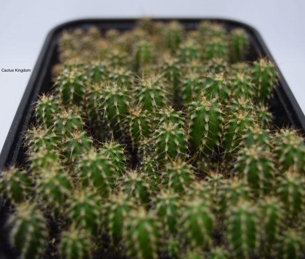 San Pedro Cactus Seedlings