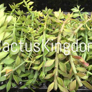 Pereskipsis Spathulata