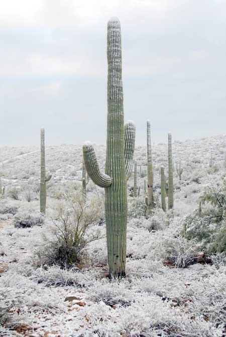 Carnegiea gigantea - Giant Saguaro Cactus Seeds