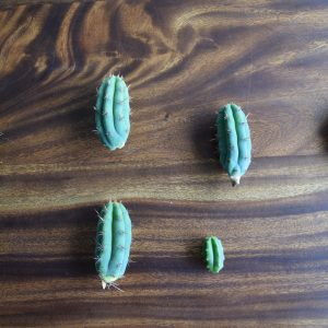 Peruvian Torch Cactus Cutting - Trichocereus Peruvianus / Echinopsis Peruviana  [S]