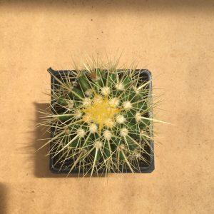 Golden Barrel Cactus syn (Echinocactus grusonii)