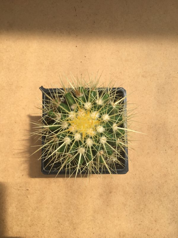 Golden Barrel Cactus syn Echinocactus grusonii