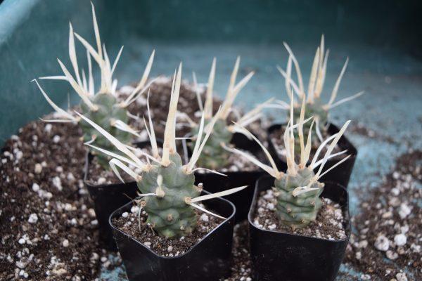 Tephrocactus articulatus var. papyracanthus / Paper Spine Cactus