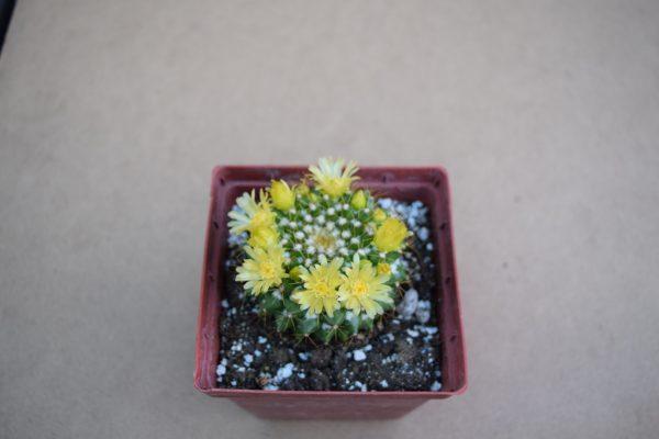 Mammillaria marksiana cactus