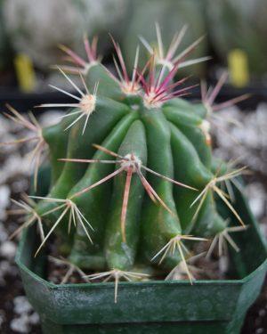 Ferocactus Pilosus Cactus