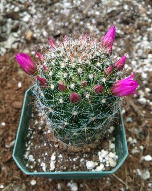 Mammillaria muehlenpfordtii Cactus
