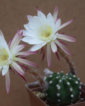 Echinopsis subdenudata Cactus