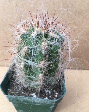 Oreocereus trollii - Old Man of the Mountain Cactus