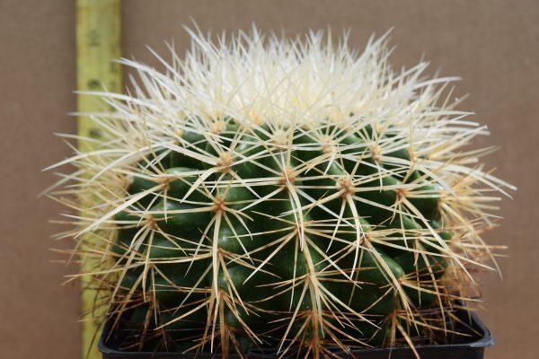 Echinocactus grusonii var albispinus - White Barrel Cactus