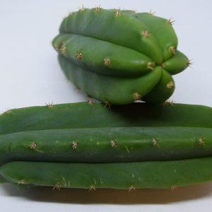 Trichocereus Pachanoi / San Pedro Cactus Cutting [M]