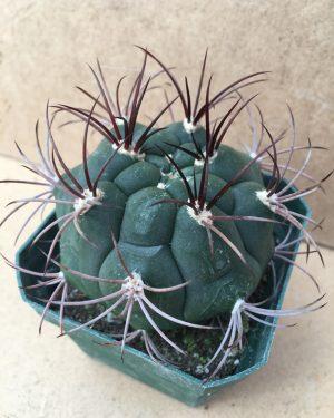 Gymnocalycium Marquezii Cactus