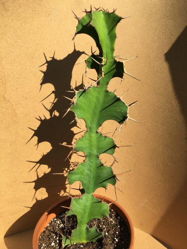 Euphorbia Grandicornis - Cow's Horn Succulent