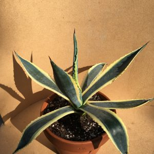 Agave Americana Yellow Edge
