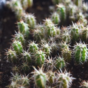 Bolivian Torch Cactus Seedlings