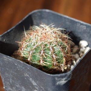 Oroya Cactus