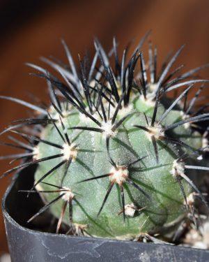 Copiapoa Cactus