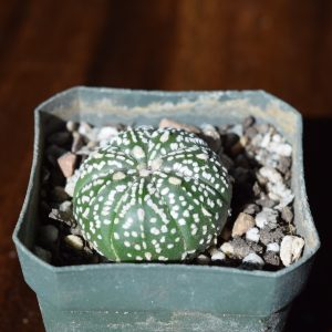 Astrophytum Superkabuto Cactus