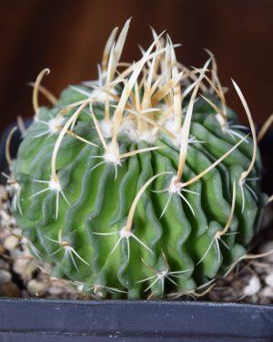 Stenocactus Cactus