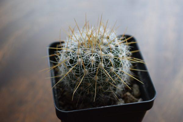 Echinofossulocactus Cactus