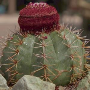 Melocactus Bahiensis Cactus