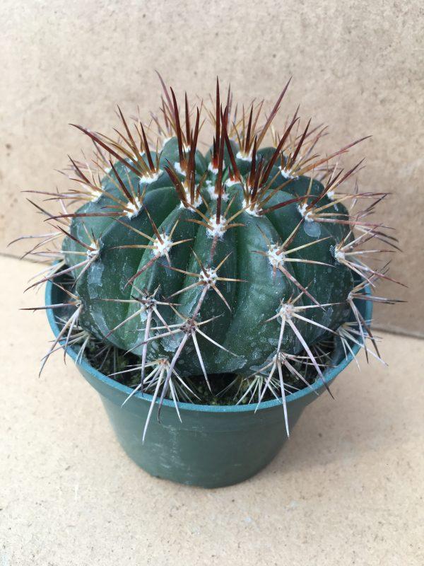 Melocactus Concinnus Cactus