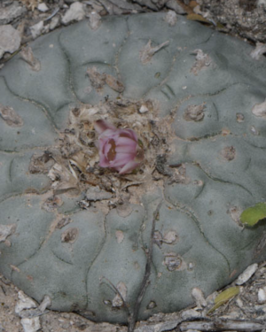 Lophophora Sp. La Rinconada Cactus Seeds