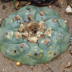 Lophophora Sp. Sierra De La Palla Cactus Seeds