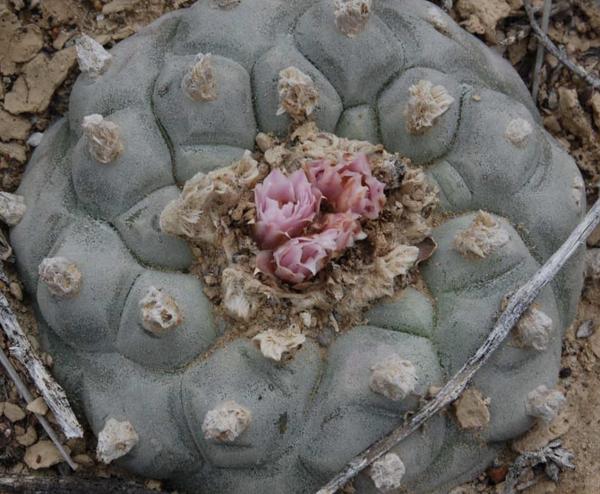 Lophophora Sp. Hipolito Cactus Seeds