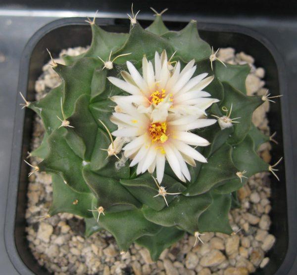 Obregonia Denegrii Cactus Seeds