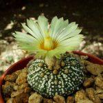 Astrophytum Asterias cv. Superkabuto Cactus Seeds