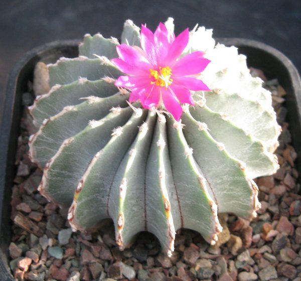 Geohintonia Mexicana Cactus Seeds