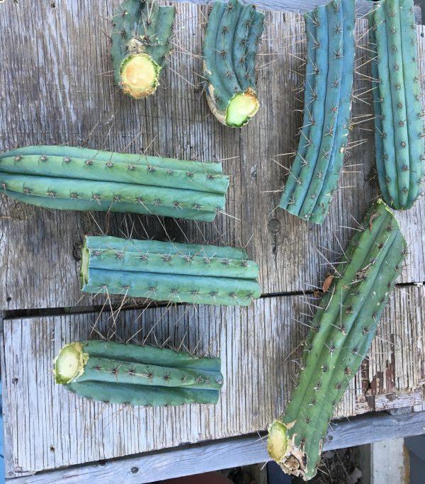 Matucana Peruvian Torch Cactus Cutting - Trichocereus Peruvianus / Echinopsis Peruviana [XL]