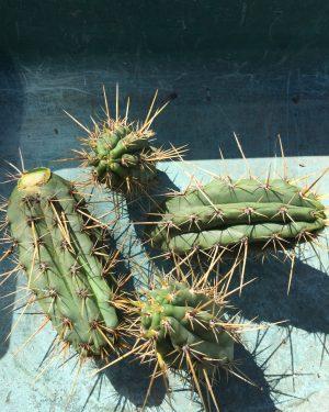 Trichocereus Peruvianus Cuzcoensis