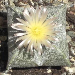 Astrophytum Myriostigma Quadricostatum Cactus Seeds