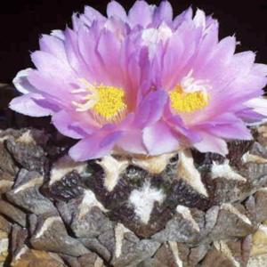 Ariocarpus Fissuratus Cactus Seeds