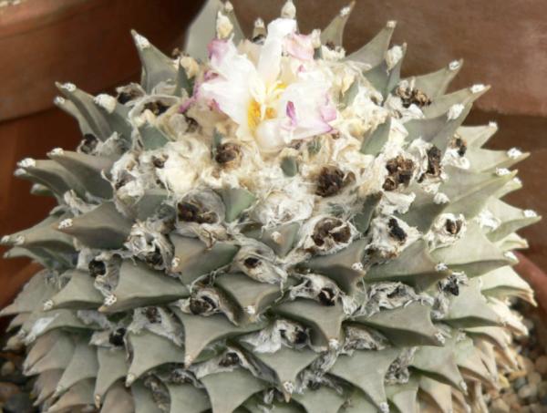 Ariocarpus Retusus Cactus Seeds