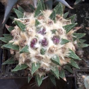 Ariocarpus Retusus v. Scapharostrus