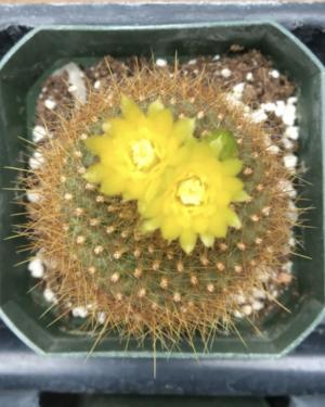Parodia Haselbergii Subsp. Graessneri Cactus Seeds