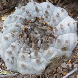 Lophophora Sp. La Soledad