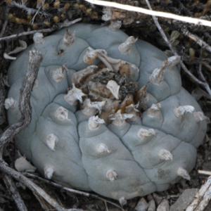 Lophophora Sp. Mazapil Cactus Seeds