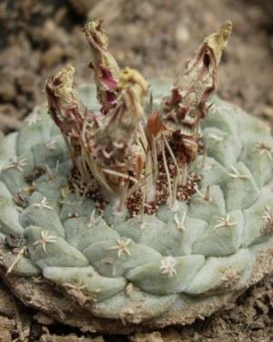 Strombocactus Disciformis Cactus Seeds