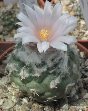 Turbinicarpus Lophophoroides Cactus Seeds